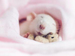 Características de las ratas