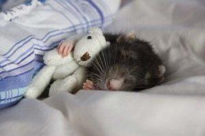 Comportamiento de las ratas