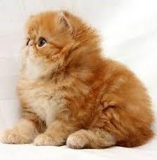 los gatos domésticos pueden morir por un accidente
